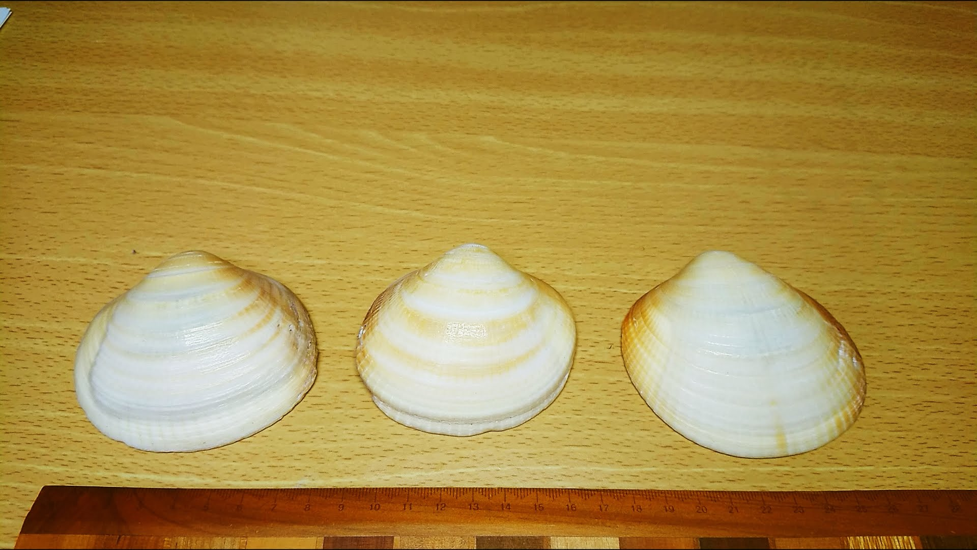 大きなハマグリの貝殻