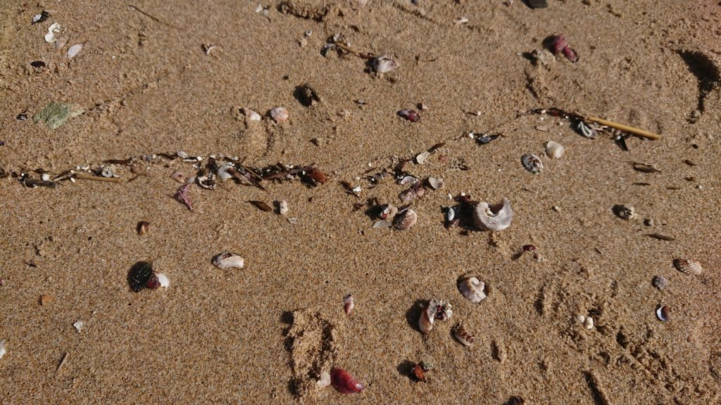 琴引浜の砂浜に落ちている貝殻