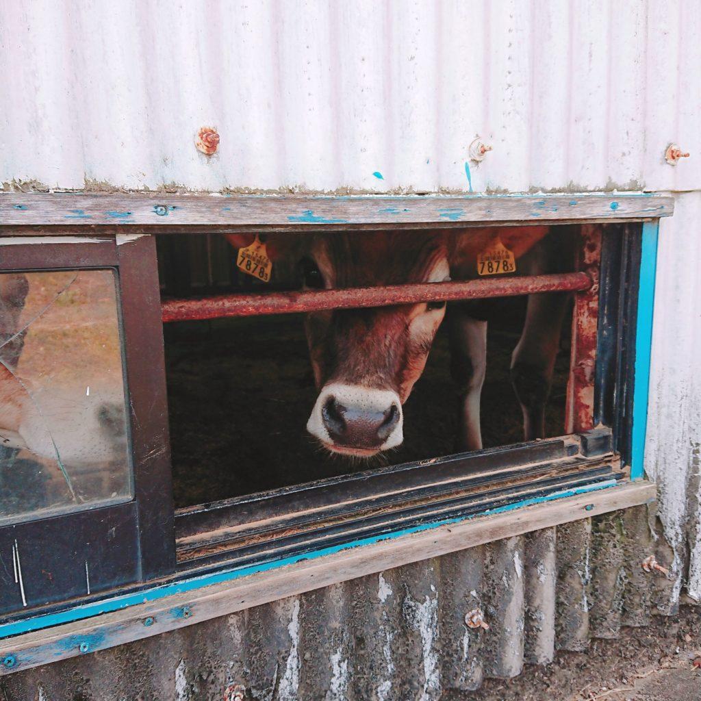 ミルク工房SORAで、のぞき込んでくる牛