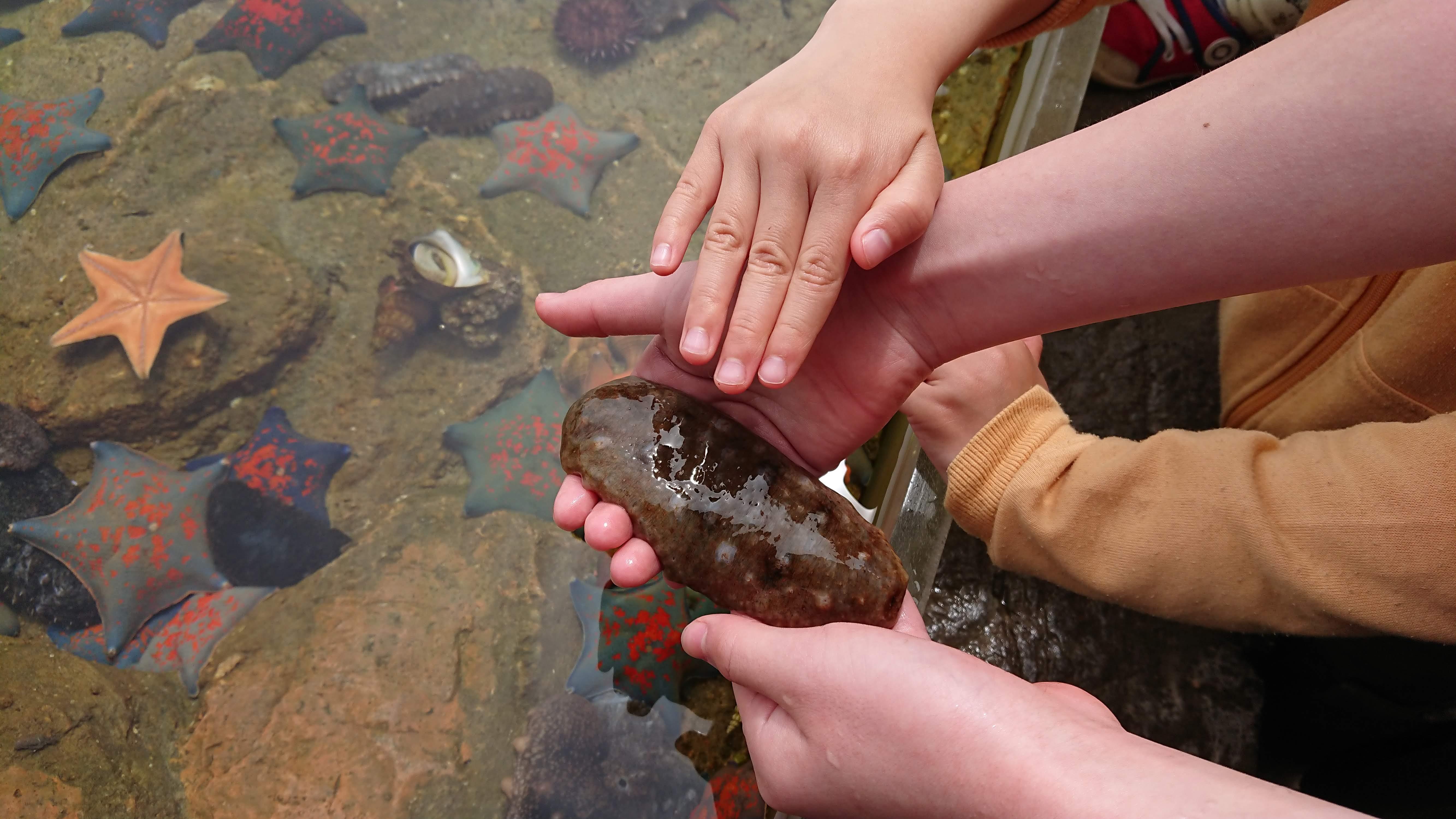「魚っ知館」のタッチングプールでなまこを触っている